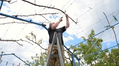 Man pruning the branch of vine. Man on the ladder saws off a branch of vine Stock Footage