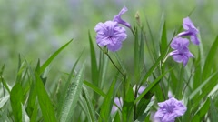 Minnieroot flowers shaking with wind Stock Footage