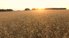Flying Over The Wheat And Corn Stock Footage