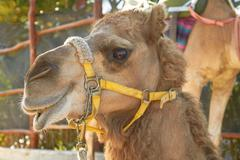 The Facial Expression of a Camel in Cozumel Mexico Stock Photos