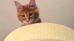 Maine Coon kitten play Stock Footage