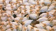Turkey Farm Background Arkistovideo