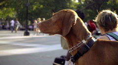 Beautiful brown dog in park on sunny summer day in NYC 1080 HD Stock Footage