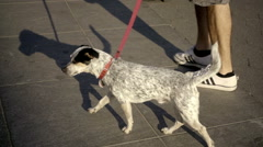 spotted white dog walking on summer day in NYC in 1080 HD - stock footage