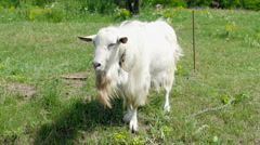 A White Goat in Rural Field Stock Footage