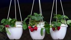 Strawberry in the pot. decorative plant Stock Footage