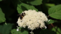 Bees on flowering shrub Stock Footage