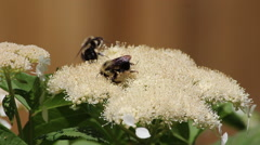 Bees on flowering shrub - stock footage