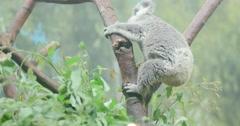 Cute baby koala - stock footage