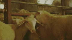 Some funny sheep eat in a pen and turn toward the camera. - stock footage