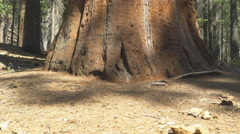 Tilt up shot of a giant sequoia tree in yosemite Stock Footage