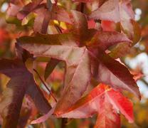 Boston Ivy - Parthenocissus tricuspidata full of color in autumn - stock photo