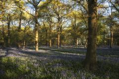 Stunning landscape image of bluebell forest in Spring Stock Photos