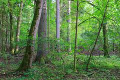 Natural mixed stands of Bialowieza Forest with some old trees,Bialowieza Fore - stock photo