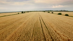 Aerial view of gold wheat field. Stock Footage