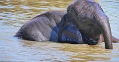 Cute baby elephant bathing in river water in Pinnawala park. Sri Lanka animals Stock Footage