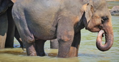 Close up view of adult female Asian elephant on river in Sri Lanka wildlife Stock Footage