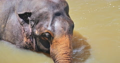 Close up head and trunk of large Asian Sri Lanka elephant bathing in river water Stock Footage