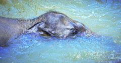 Funny elephant dives and baths in river water. Amazing wild animals of Sri Lanka Stock Footage