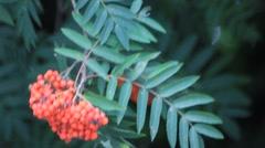 Fresh rowan berries on tree Stock Footage