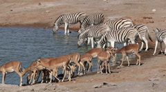Plains zebras and impala antelopes at a waterhole, Etosha National Park, Namibia Stock Footage