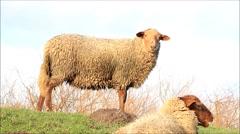 Sheep on dike looking Stock Footage