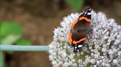Butterfly Vanessa atalanta Admiral on allium buds Stock Footage