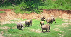 Large family herd of elephants feeding on green grass in Sri Lanka national park Stock Footage