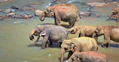 Herd of Asian elephants adults and young babies drink water and wash on river Stock Footage