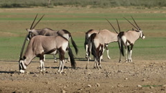 Gemsbok antelopes, Kgalagadi Transfrontier Park, South Africa Stock Footage