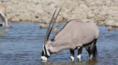 Gemsbok antelope drinking water, Etosha National Park, Namibia Stock Footage