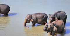 Elephant herd bathing in river in Pinnawala park in Sri Lanka Stock Footage