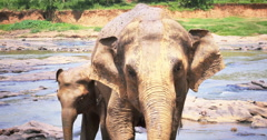 Cute small baby elephant calf with his mother. Sri Lanka wildlife animals safari Stock Footage