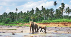 Big female elephant with her baby calf in Pinnawala park in Sri Lanka Stock Footage