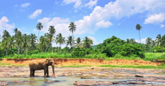 Landscape of Sri Lanka wildlife animal with large elephant in middle of river Stock Footage