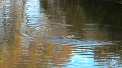 Platypus swimming in a river with the reflection of autumn leaves Stock Footage