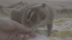 Slow loris sitting on the towel being feeded with grapes by woman's hand.  Stock Footage