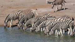 Plains zebras drinking water, Etosha National Park, Namibia Stock Footage