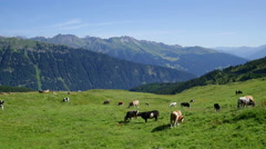 Herd of cows grazing on summer alpine pasture Stock Footage