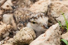 The young Little Ringed Plover disguise beside stone Stock Photos