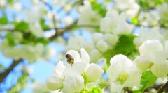 A bee collecting pollen from flowers of apple, slow motion - stock footage