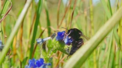 Bumblebee collects nectar from blue flowers, slow motion Stock Footage