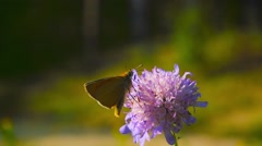 Butterfly collecting nectar from a flower and then takes off, slow motion Stock Footage