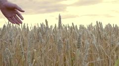 Hands of a man running through wheat spikelets at sunset - stock footage