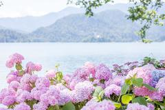 Hydrangea blossom on lake Bled Stock Photos