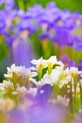 Thickets of fresh blooming white and purple irises Stock Photos