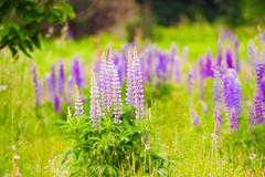 bushes of blooming lupine flowers - stock photo