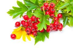 Hawthorn berries and yellow flowers - stock photo