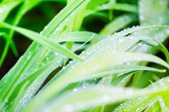 Spring grass in drops of dew Stock Photos