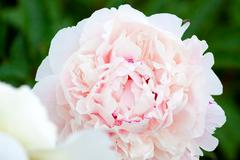 Soft pink peony in the flowerbed Stock Photos